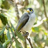 Noisy Miner. Bird outside amongst nature during the day stock images