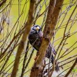 Noisy miner bird is peeking. Australian Noisy miner bird is peeking between the branches of the tree stock photos