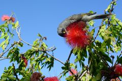 Noisy miner bird, scientific name Manorina melanocephala, feeding on the nectar of a red calliandra flower. An adult noisy miner, known by the scientific name Royalty Free Stock Image