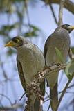 Noisy miner birds. Image taken on the gold coast, australia royalty free stock photos