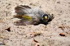 Noisy miner dust-bathing Royalty Free Stock Image
