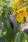 Noisy Miner feeding on Canna Lily Stock Photo