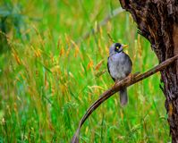 Noisy miner and grass in the background. Beautiful Noisy miner bird and grass in the background royalty free stock photos