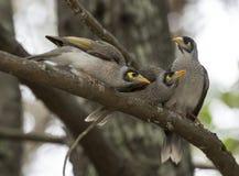 Noisy miner. Honeyeater birds in Australia royalty free stock photo