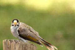 Noisy Miner (Manorina Melanocephala) Royalty Free Stock Photography