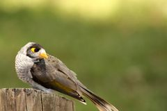 Noisy Miner (Manorina Melanocephala) Royalty Free Stock Photos