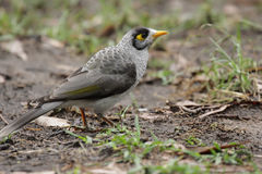 Noisy Miner (Manorina melanocephala) Royalty Free Stock Photo
