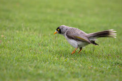 Noisy Miner On The Grass Royalty Free Stock Image