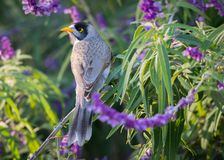 Noisy Miner Perched In Mexican Bush Save stock photography
