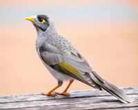 Noisy Miner Standing on a Wooden Table. Noisy Miner (Manorina melanocephala) standing on a wooden public picnic table stock image