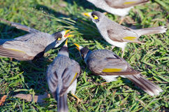 Noisy miners Royalty Free Stock Image