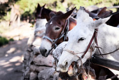 Noisy mules near the Grand Canyon Royalty Free Stock Photography