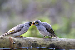 Noisy Mynah Royalty Free Stock Images