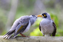 Noisy Mynah Stock Photo