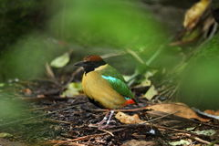 Noisy Pitta exotic bird on forest floor. A rainforest bird, the Noisy Pitta, foraging on forest floor - the blurred green leaves of a tree frame the birds body royalty free stock photography