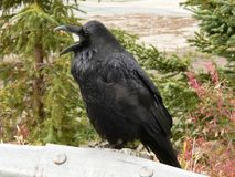 Noisy Raven. Common Raven (Corvus corax) perched on guard rail at Jasper National Park, Alberta, Canada royalty free stock images