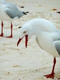 Noisy Seagull. A noisy seagull on a sandy beach stock photo