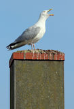 Noisy seagull with its beak wide open. Stock Photos