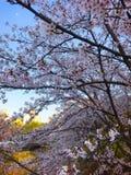 Noite Cherry Blossom imagens de stock