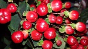 A noite da baga vermelha bonita do inverno Fotografia de Stock Royalty Free