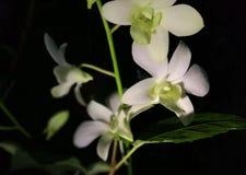 Noite da luz branca da orquídea Imagens de Stock