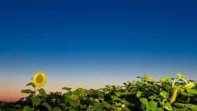 Noite do campo do girassol ao princípio de agosto Imagens de Stock