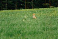 Noite do verão O Fox está no meio do campo e dos olhares na câmera charmer fotografia de stock