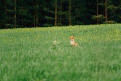 Noite do verão O Fox está no meio do campo e olha afastado charmer fotos de stock royalty free