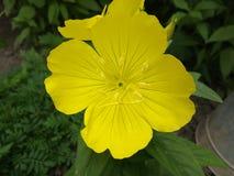 Noite, flores, prímula, noite, amarelo, planta, natureza, cores, flor, pétala, close up, verde, único, verão, beleza, estame Fotos de Stock
