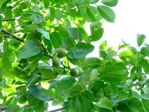 Noix-arbre photo stock