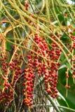 Noix de bétel rouges sur un palmier photographie stock
