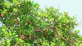 Noix de cajou mûres dans la branche d'arbre Photos stock