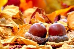 Noix de chêne de gland sur l'étage de forêt d'automne Photographie stock