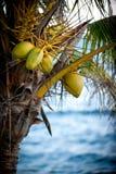Noix de coco Images libres de droits