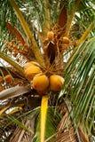 Noix de coco Photos libres de droits