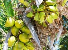 Noix de coco accrochant sur le palmier image stock