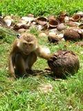 Noix de coco asiatique de sélection de singe de lignée image libre de droits