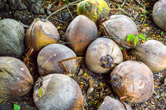 Noix de coco au sol Images libres de droits