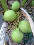 Noix de coco crues sur l'arbre, Hadyai, Songkhla, Thaïlande Photos stock