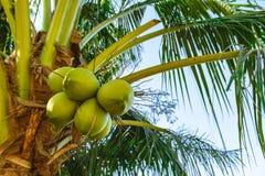 Noix de coco crues vertes sur un palmier photos libres de droits