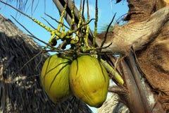Noix de coco d'île Photos libres de droits