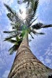 Noix de coco de cime d'arbre Photographie stock libre de droits