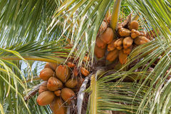 Noix de coco de roi s'élevant sur la paume Images stock