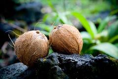 Noix de coco, deux noix de coco sur une roche en Hawaï photos libres de droits
