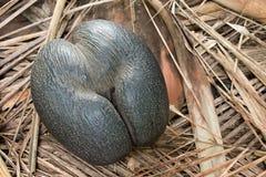 Noix de coco edemic d'espèces des Seychelles image stock