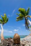 Noix de coco et palmiers Image stock