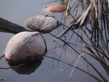 Noix de coco flottant pour flotter images libres de droits