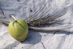 Noix de coco fraîche tombée du palmier Photos libres de droits