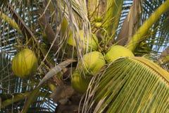 Noix de coco fraîches Photographie stock libre de droits