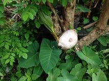 Noix de coco germant sur l'arbre Images libres de droits